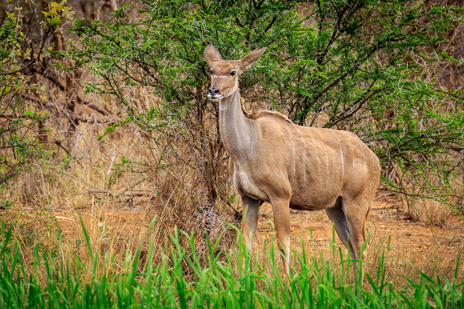 Kudu  | Karongwe Game Reserve, 20 december 2018