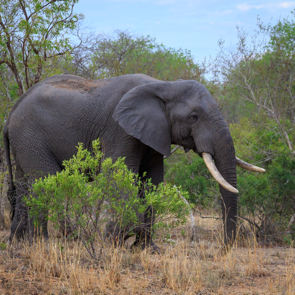 Olifant  | Karongwe Game Reserve, 20 december 2018
