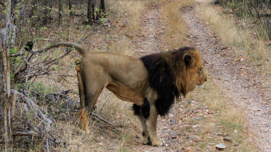 Leeuw markeert zijn teratorium  | Karongwe Game Reserve, 20 december 2018