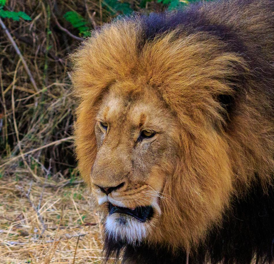 Leeuw markeert zijn teratorium  | Karongwe Game Reserve, 21 december 2018