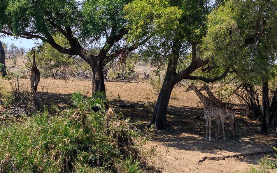 Giraffen in de schaduw | Krugerpark, 21 december 2018