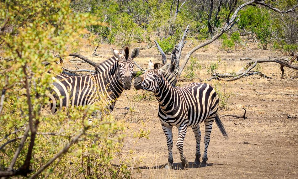 Zebra's | Krugerpark, 21 december 2018
