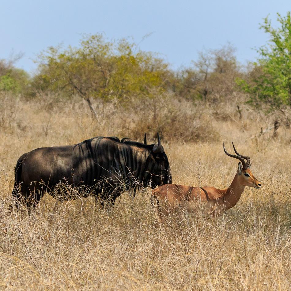 Gnoes en impala's  | Krugerpark, 21 december 2018
