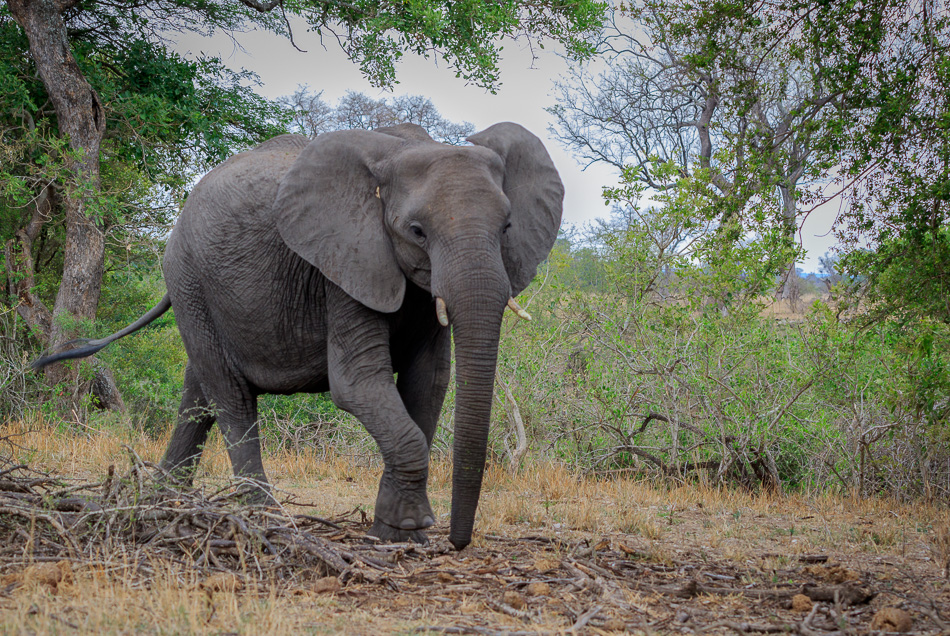 Olifant | Krugerpark, 21 december 2018