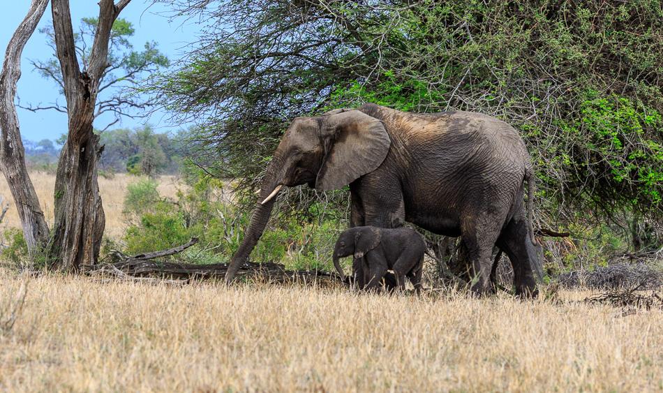 Olifant met jong | Krugerpark, 21 december 2018