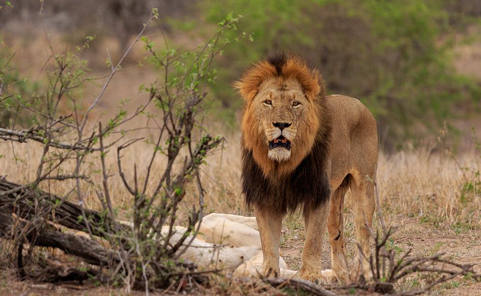 Leeuw flamend | Krugerpark, 21 december 2018