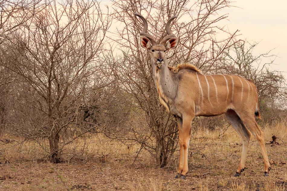 Kudu mannetje | Krugerpark, 21 december 2018