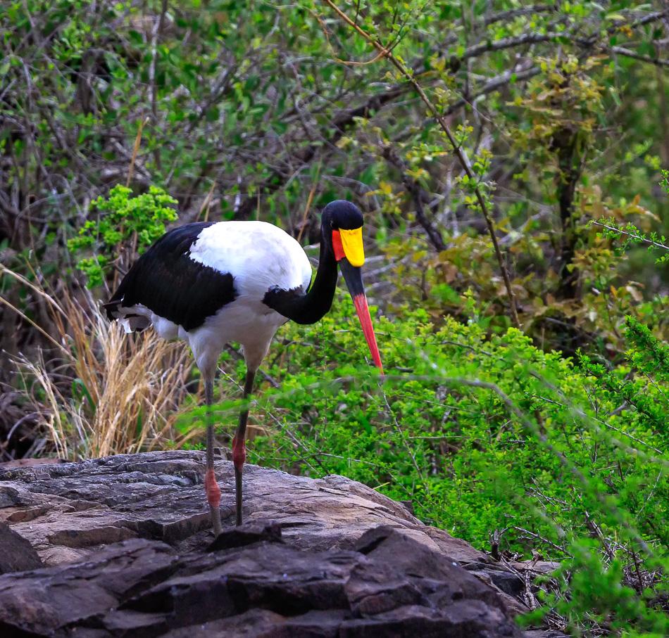 Zadelbekooievaar | Krugerpark, 21 december 2018