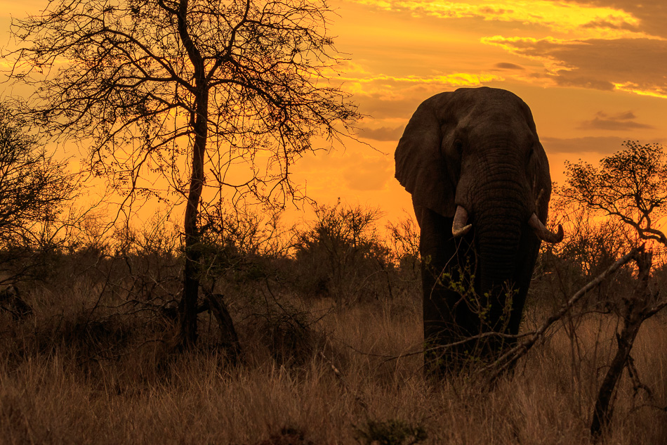 Olifant met zonsondergang | Krugerpark, 21 december 2018