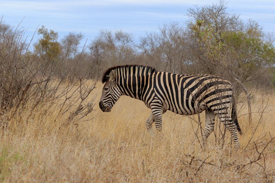 Zebra | Krugerpark, 22 december 2018