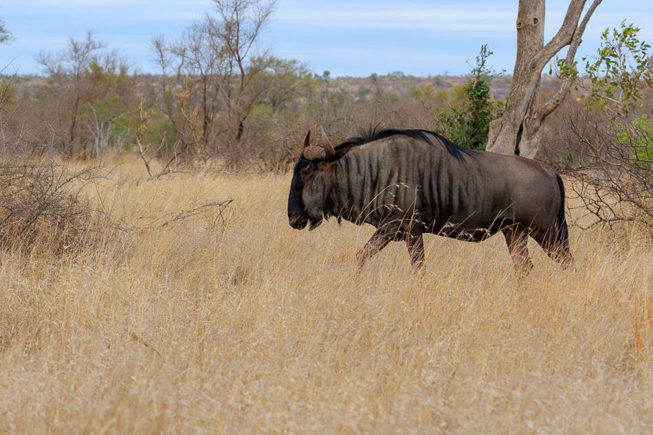 Gnoe | Krugerpark, 22 december 2018