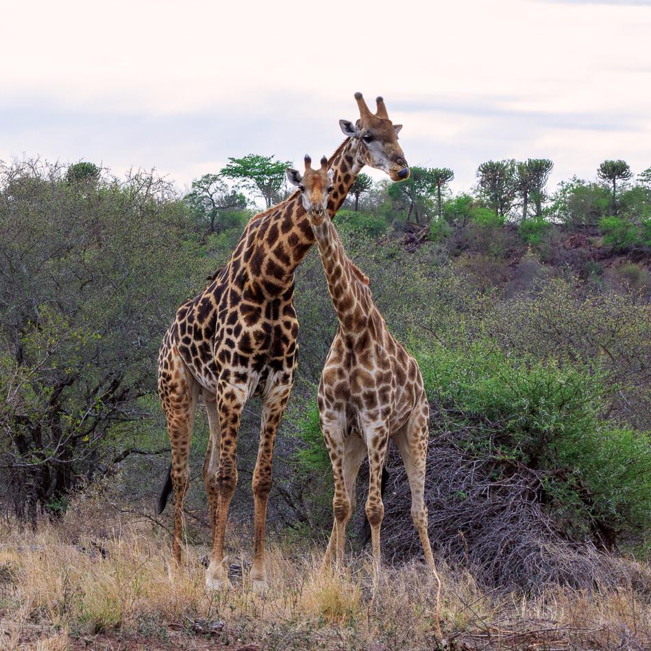 Giraffen | Krugerpark, 22 december 2018