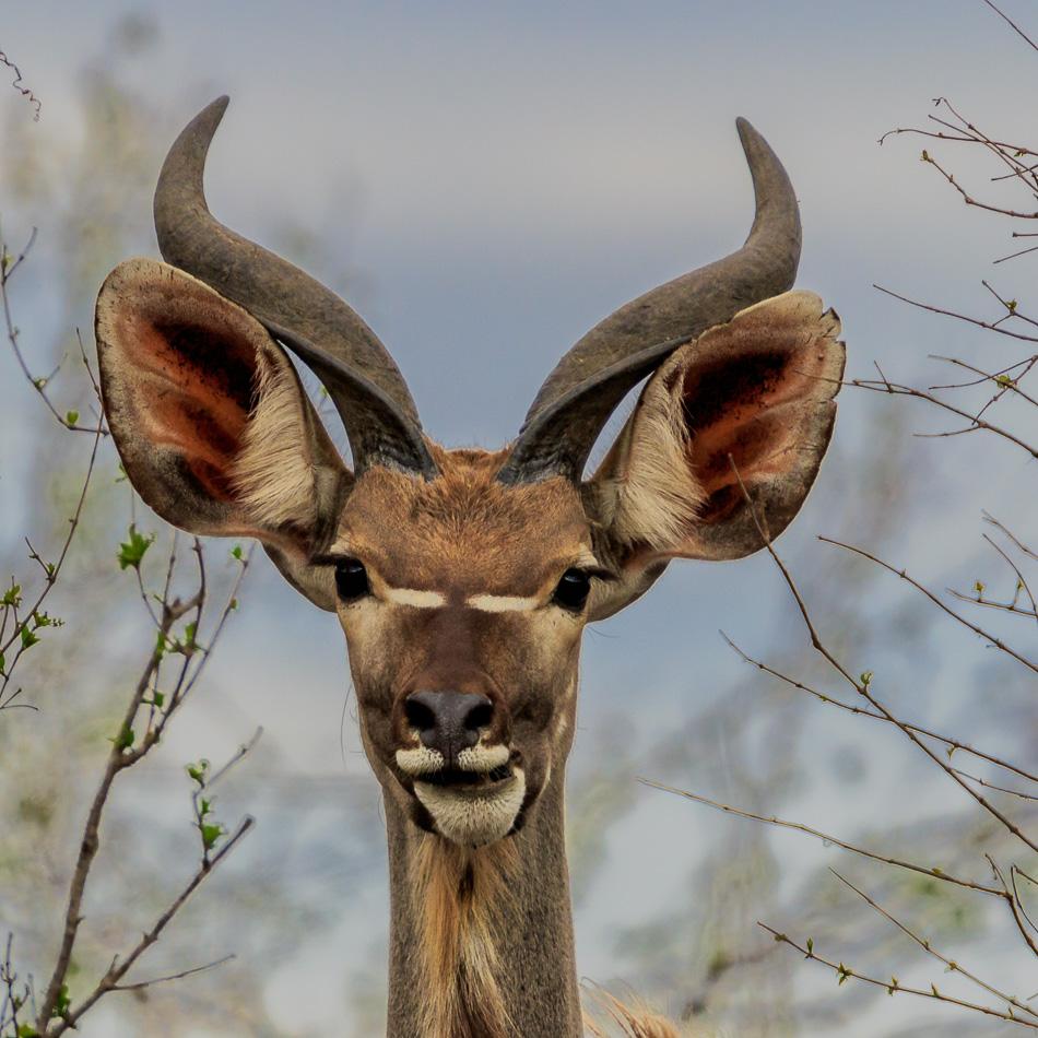 Kudu | Krugerpark, 22 december 2018