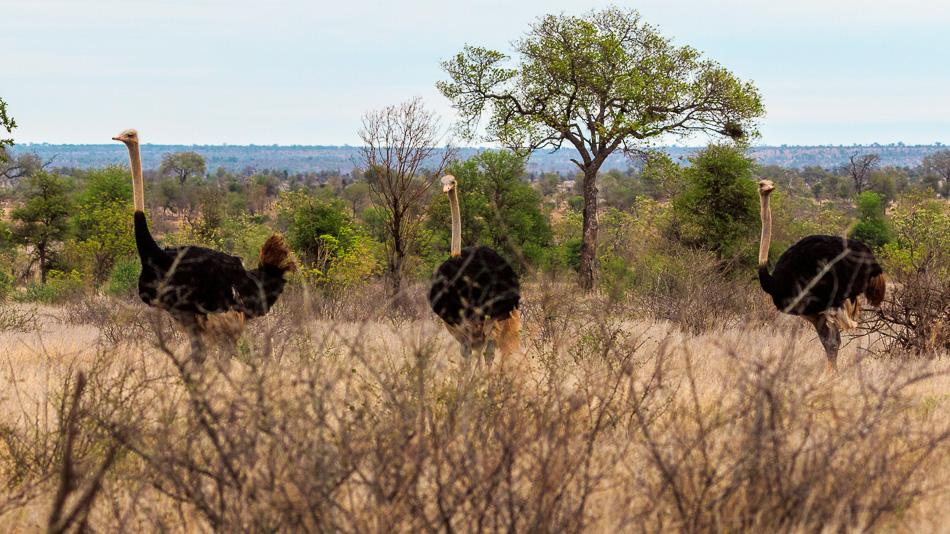 Struisvogel mannetjes | Krugerpark, 22 december 2018