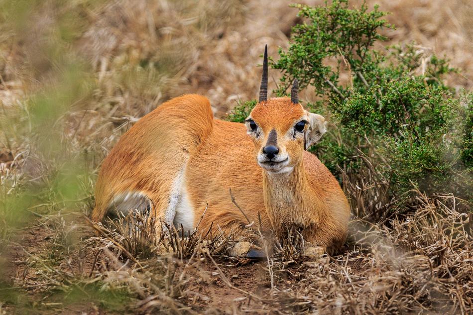 Sharpes grijsbok met afgebroken hoorn | Krugerpark, 22 december 2018