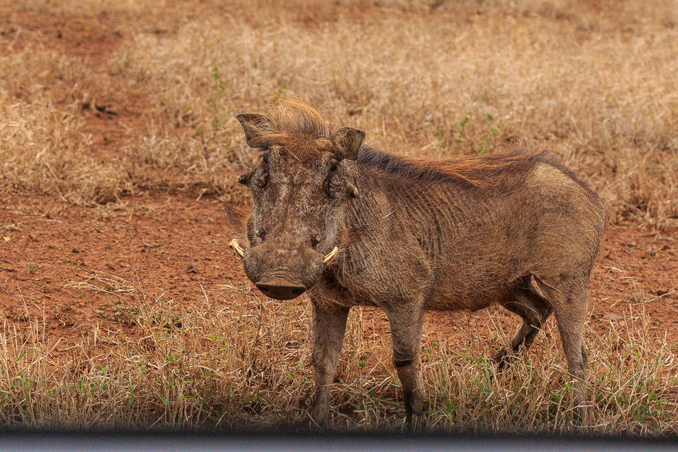 Wrattenzwijn | Krugerpark, 22 december 2018
