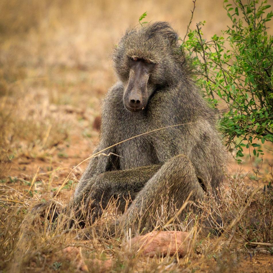 Baviaan | Krugerpark, 22 december 2018