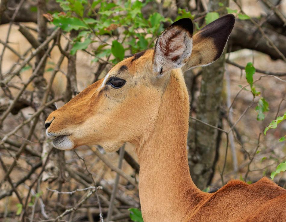 Impala | Krugerpark, 22 december 2018