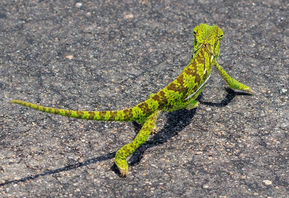 Lappenkameleon | Krugerpark, 22 december 2018