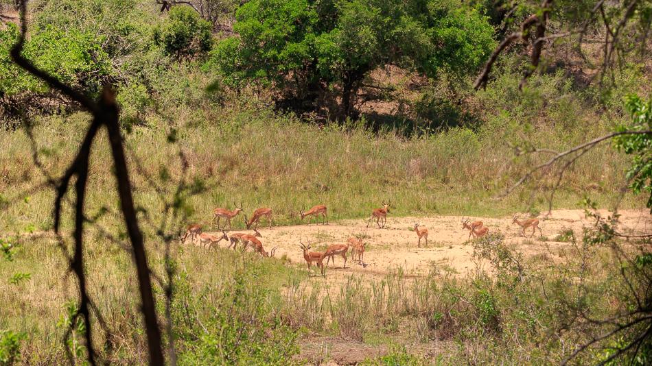 Impala's  | Krugerpark, 22 december 2018