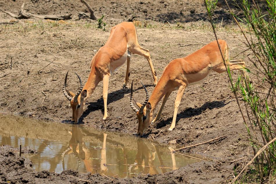 Impala' s  | Krugerpark, 22 december 2018