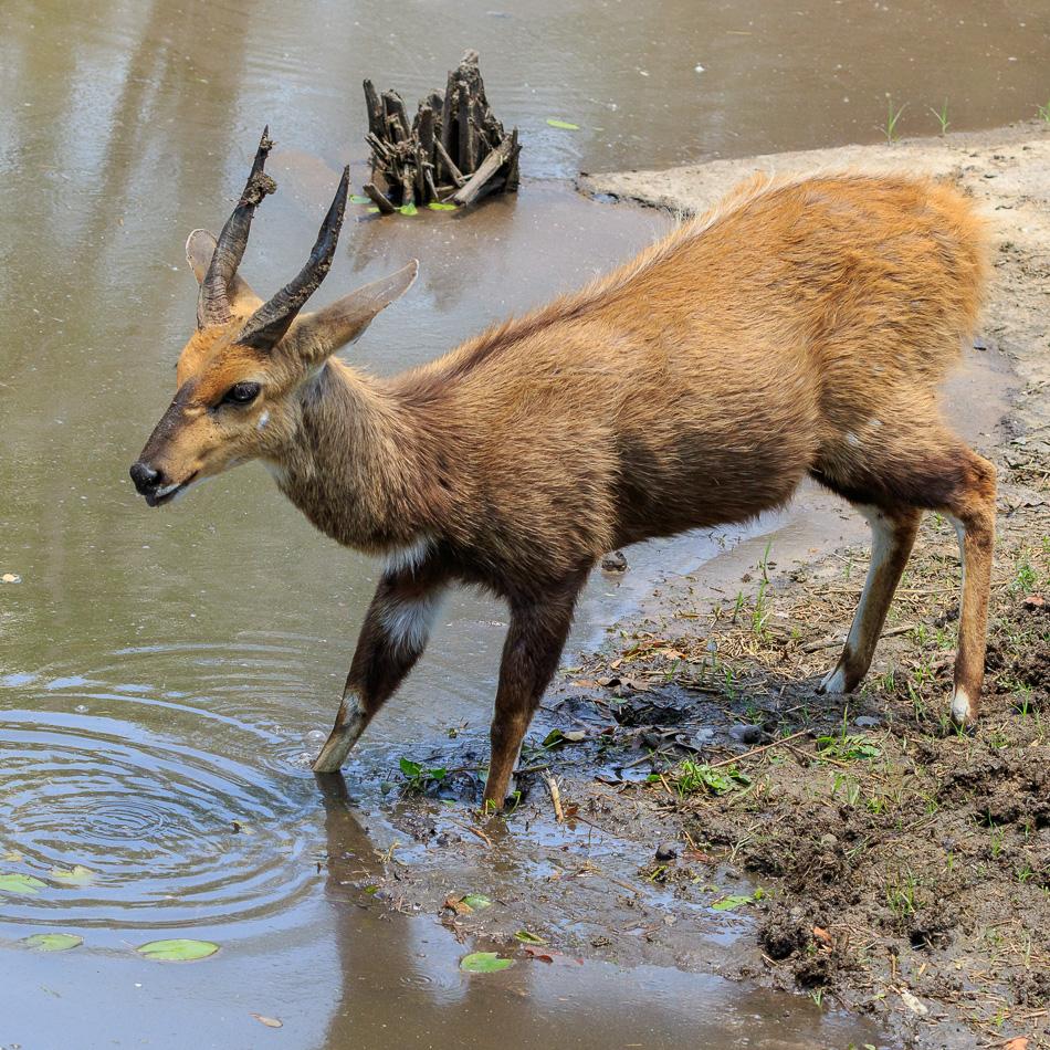 Bosbok  | Krugerpark, 22 december 2018