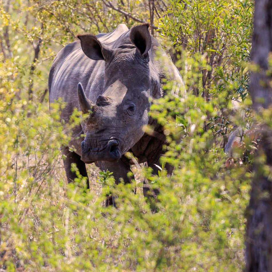 Neushoorn | Krugerpark, 22 december 2018