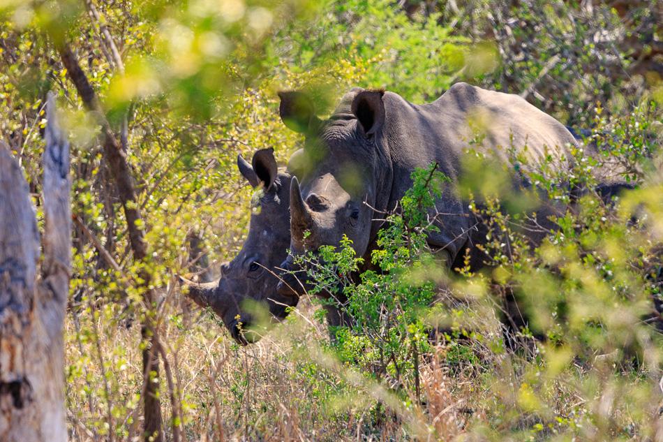 Neushoorns | Krugerpark, 22 december 2018
