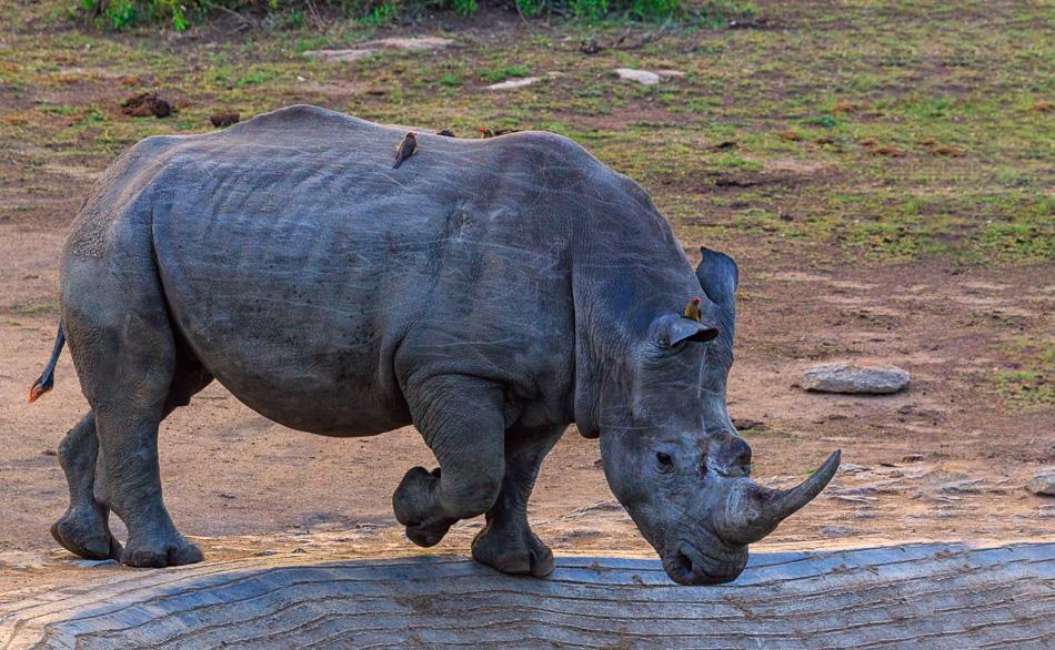 Neushoorn bij waterput  | Krugerpark, 22 december 2018