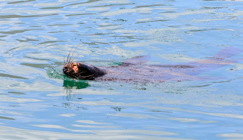 Zeeleeuwen |  Houtbaai, Zuid-Afrika, 1 december 2018