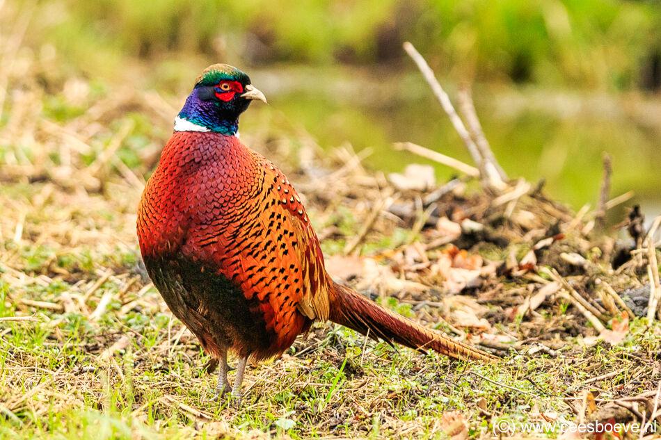 Deze mannetjes fazant poseerde prachtig voor de camera | Zevenhuizerplas, 6 januari 2021