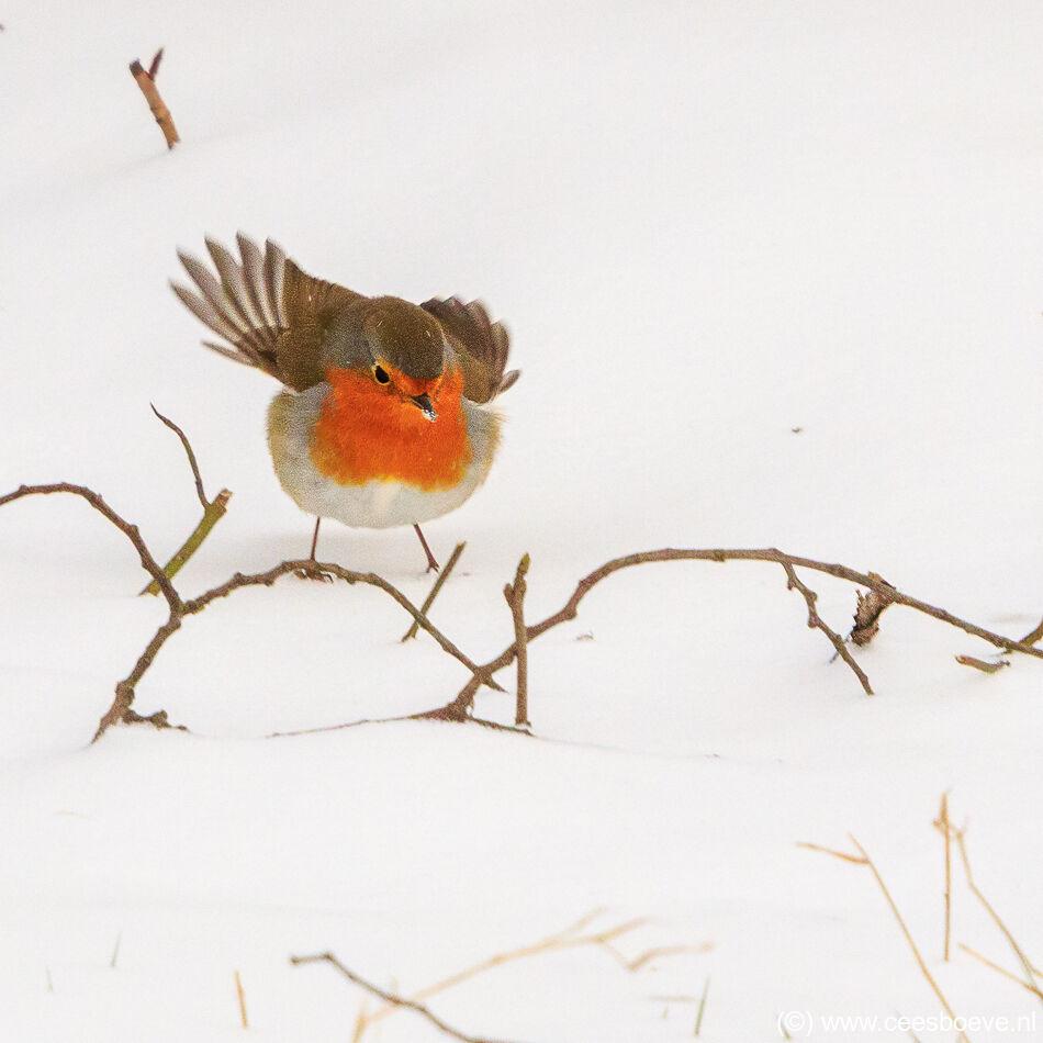 Roodborst in de sneeuw | Zevenhuizerplas, 9 februari 2021