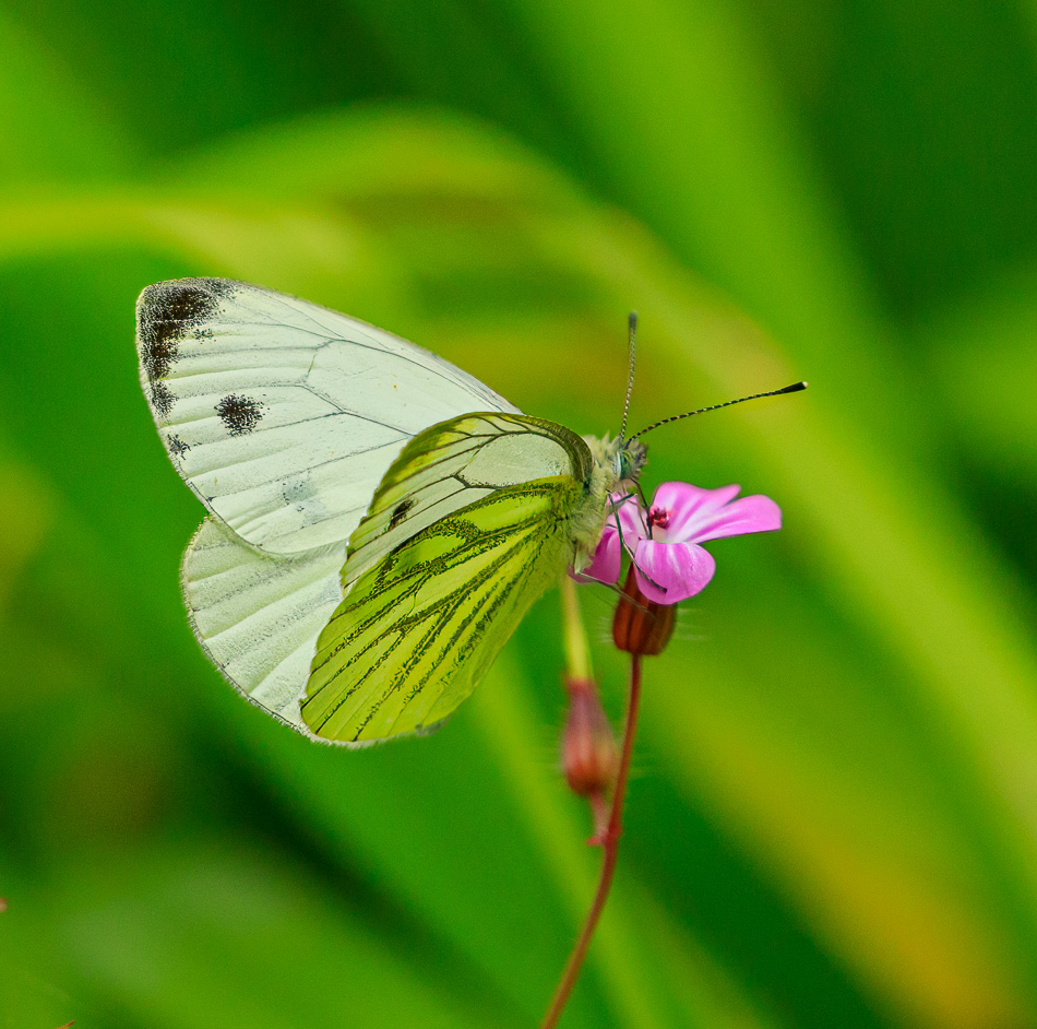 Klein geaderd witje op Robertskruid | Zevenhuizerplas, 16-07-2020