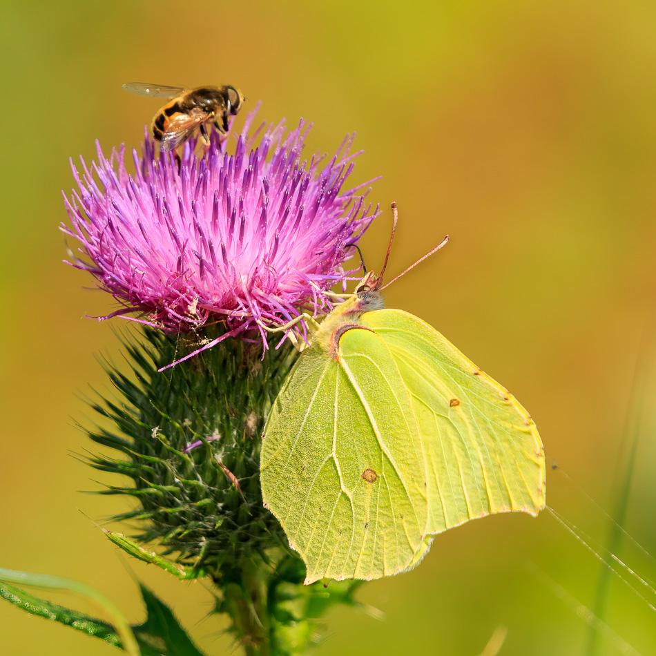 Citroenvlinder en kleine bijvlieg op een speerdistel | Zevenhuizerplas, 17-07-2020