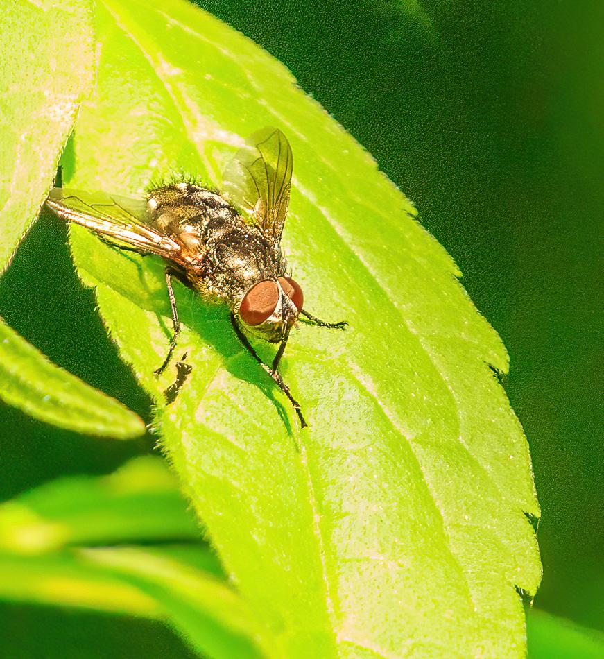 Pollenia spec ( Familie Vleesvliegen) | Zevenhuizerplas, 17-07-2020