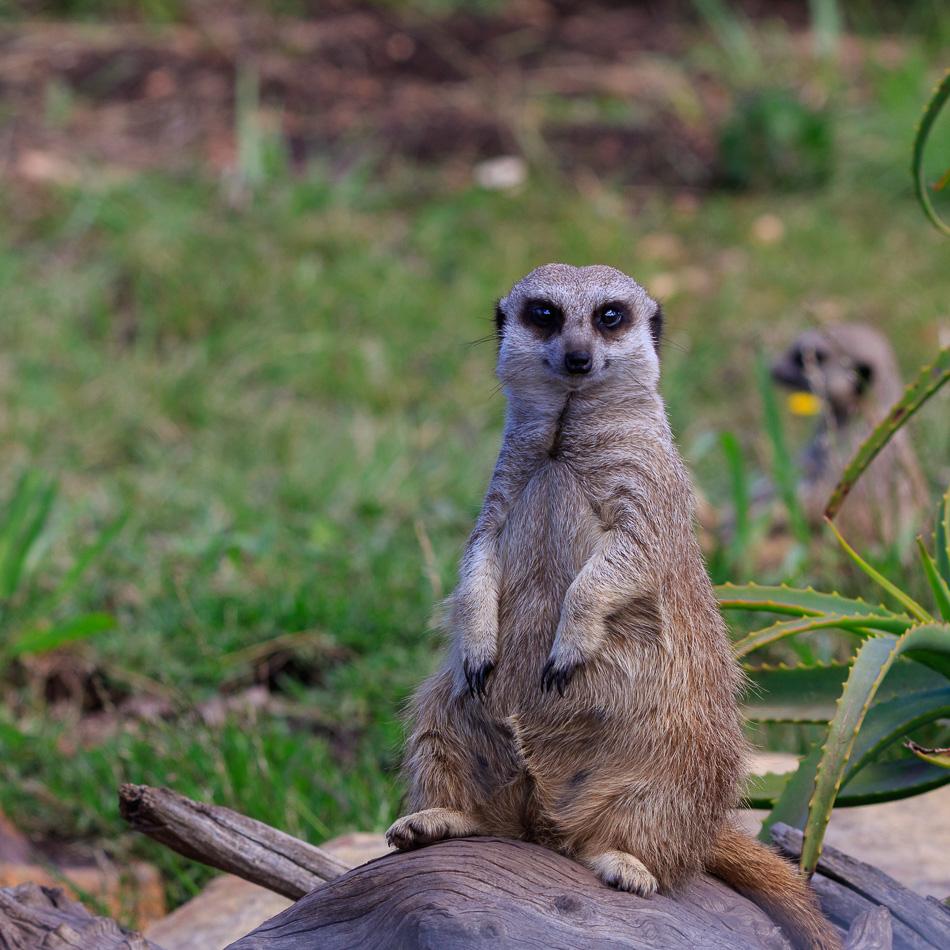 Stokpaardje  | Tenikwa Wildlife Centre, Zuid-Afrika, 28 december 2018