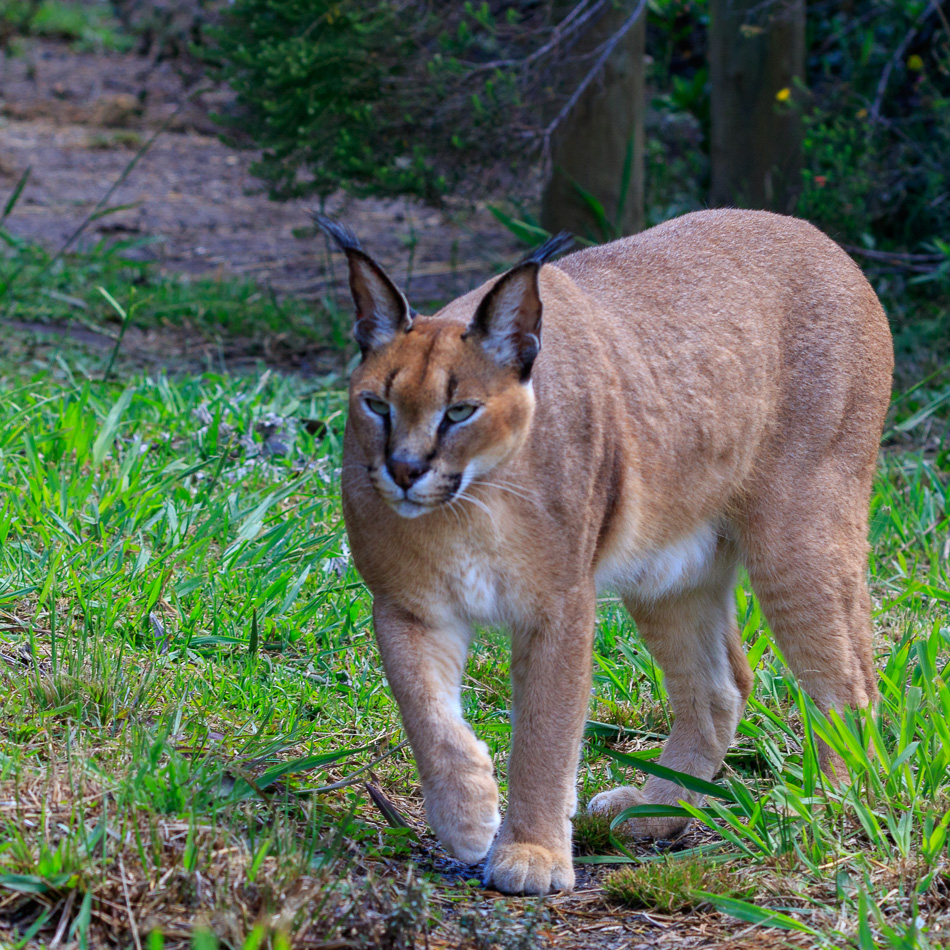 Caracal  | Tenikwa Wildlife Centre, Zuid-Afrika, 28 december 2018