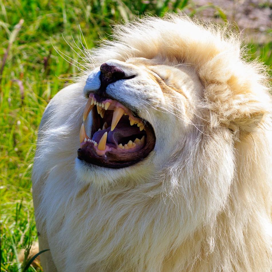 Witte leeuw  | Tenikwa Wildlife Centre, Zuid-Afrika, 28 december 2018