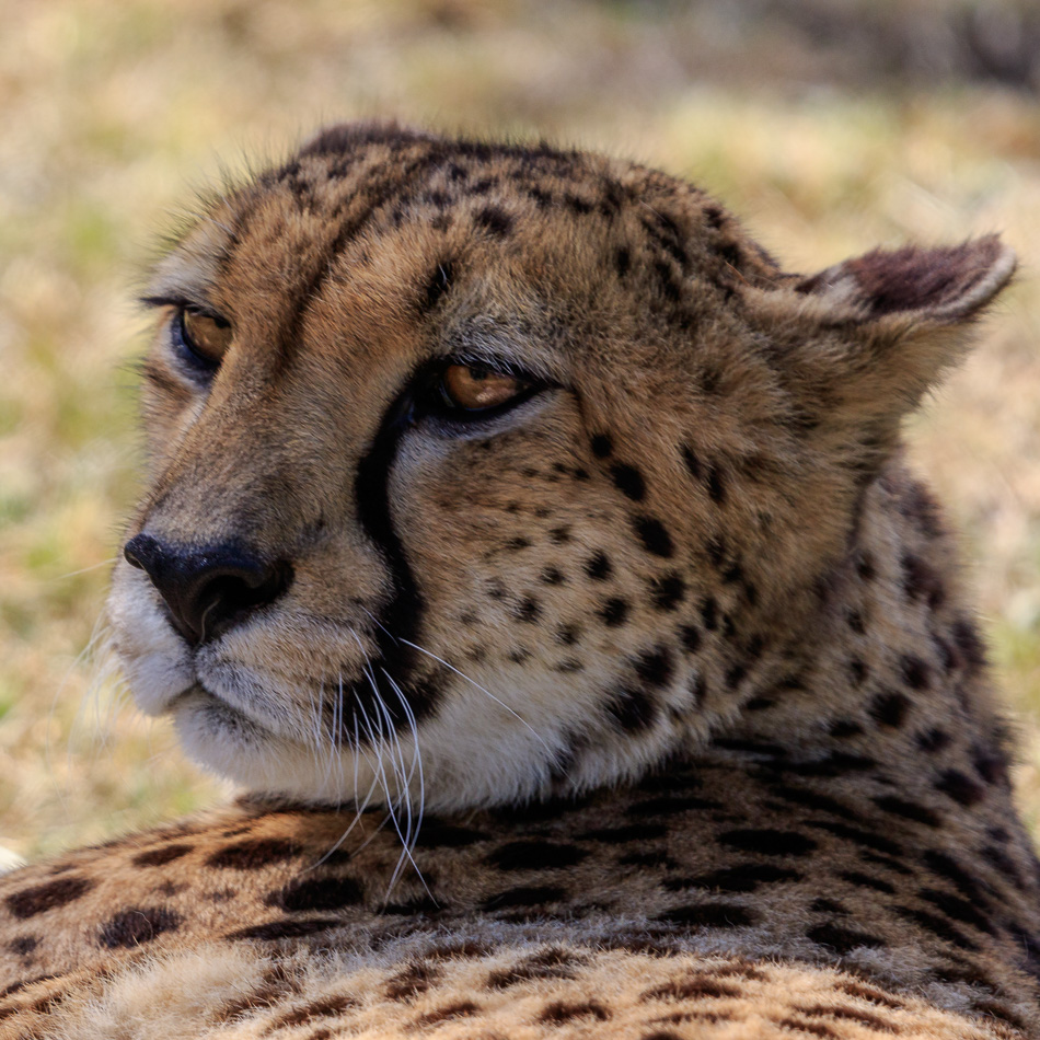 Jachtluipaard  | Tenikwa Wildlife Centre, Zuid-Afrika, 28 december 2018