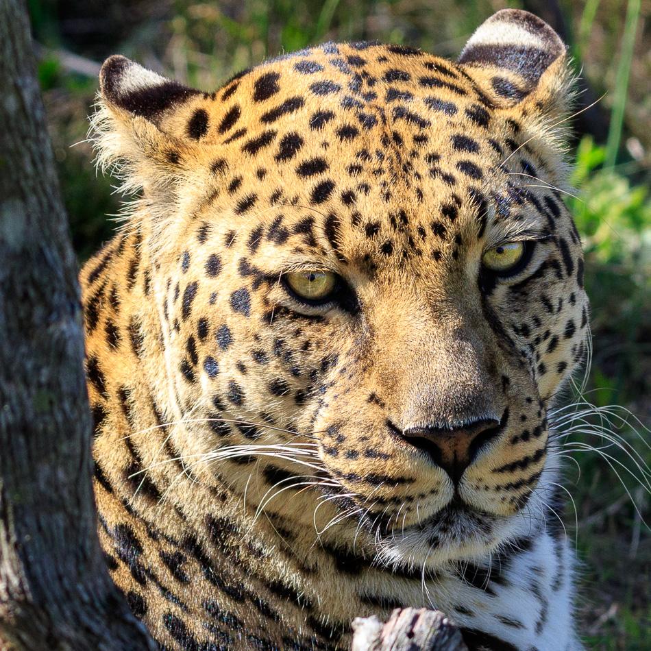 Luipaard  | Tenikwa Wildlife Centre, Zuid-Afrika, 28 december 2018