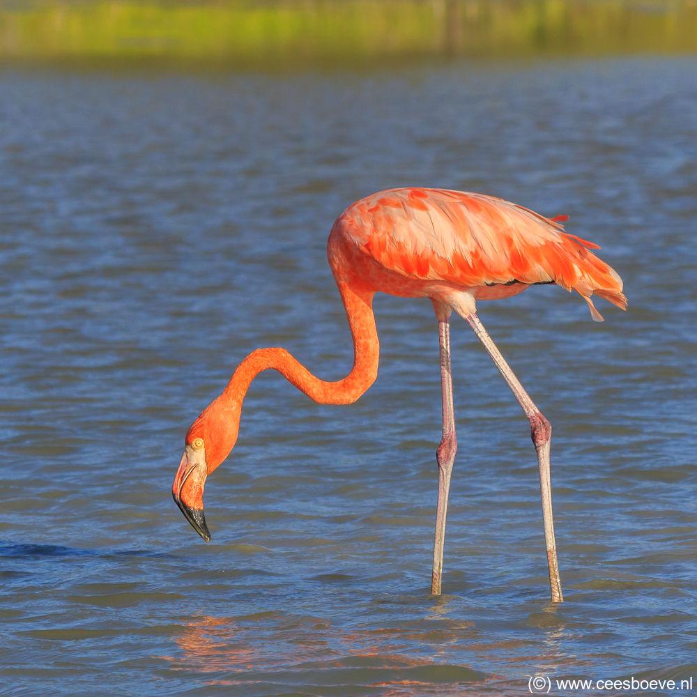 Flamingo | Zoutpannen Jan Kok, Curacau, 8 decmber 2017