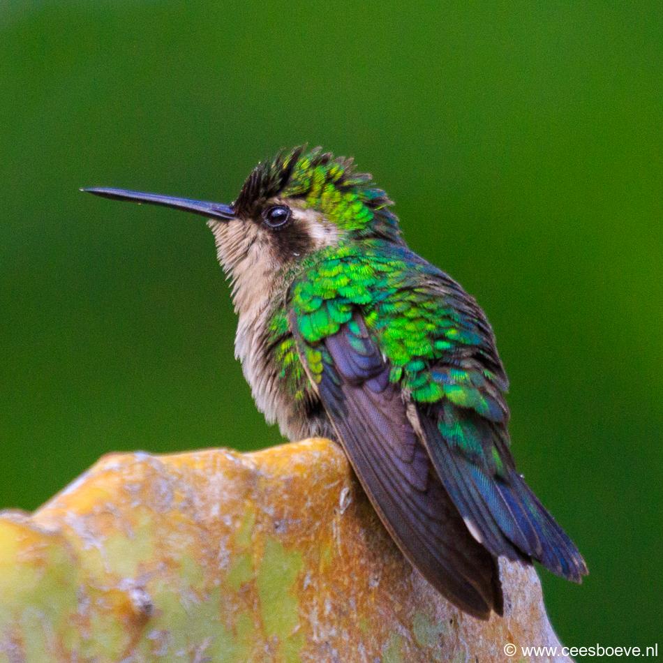 Kolibrie   Jan Kok Lodges, Curacau, 12 december 2017