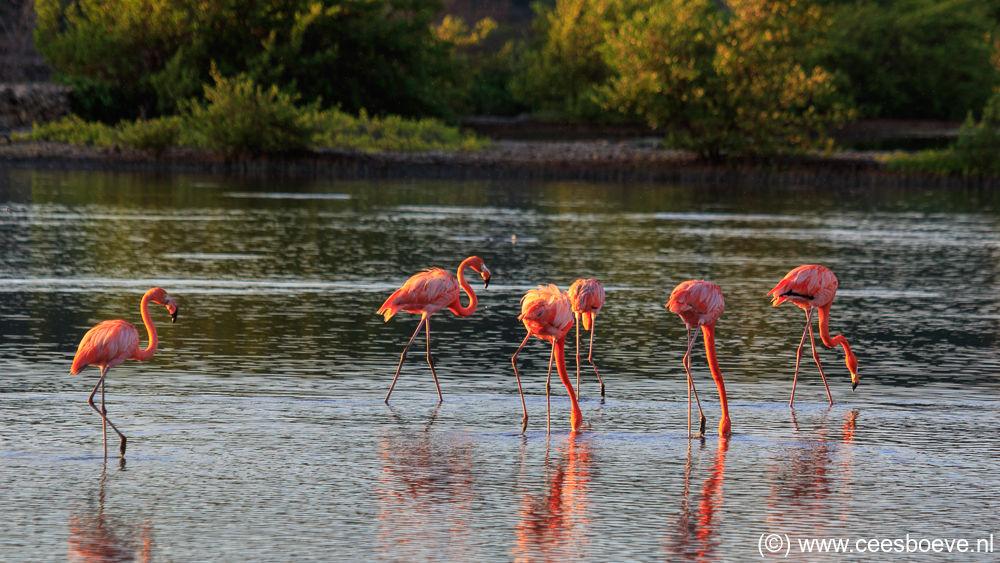 Flamingo | Zoutpannen Jan Kok, Curacau, 12 decmber 2017