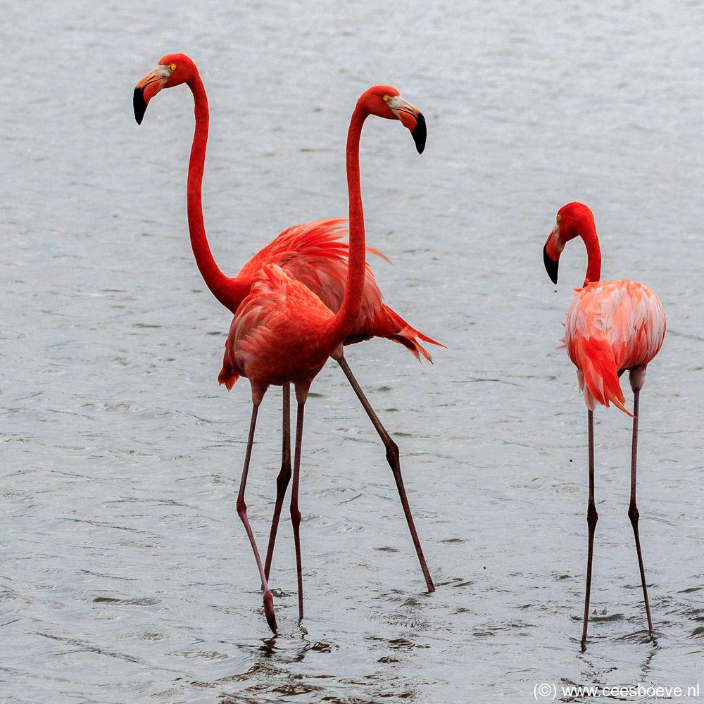 Flamingo   Zoutpannen Jan Kok, Curacau, 14 december 2017