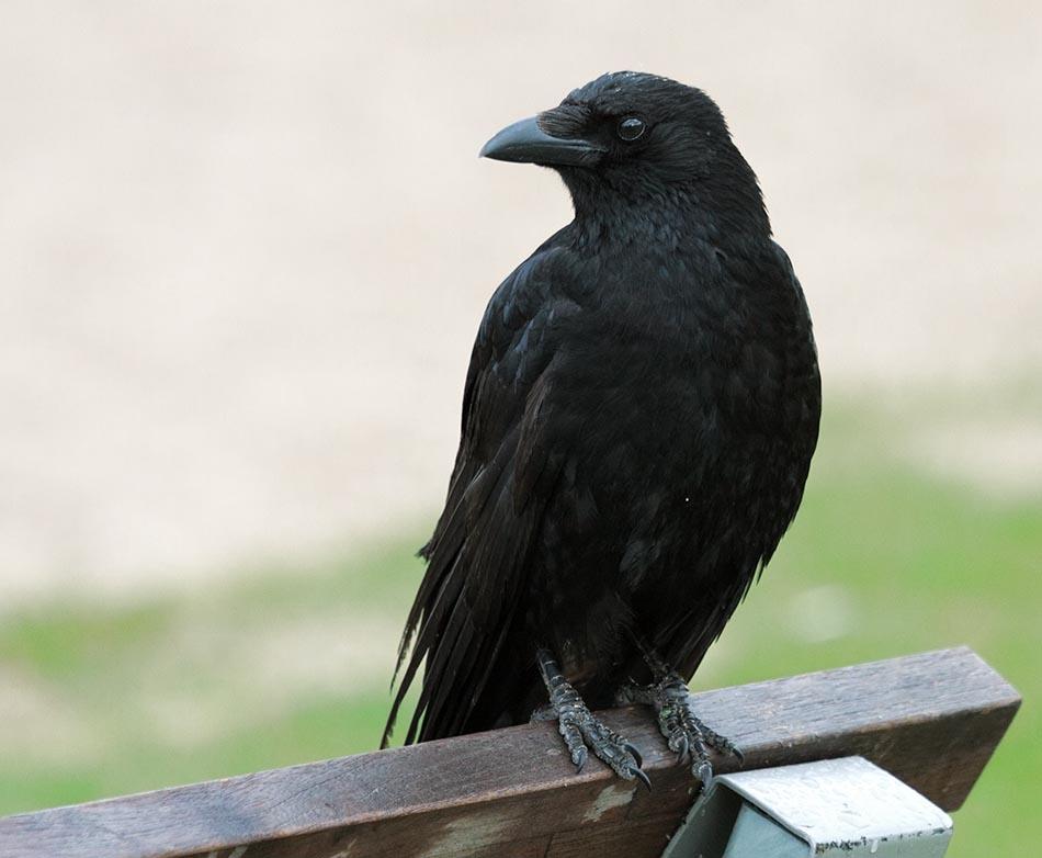 Zwarte-Kraai