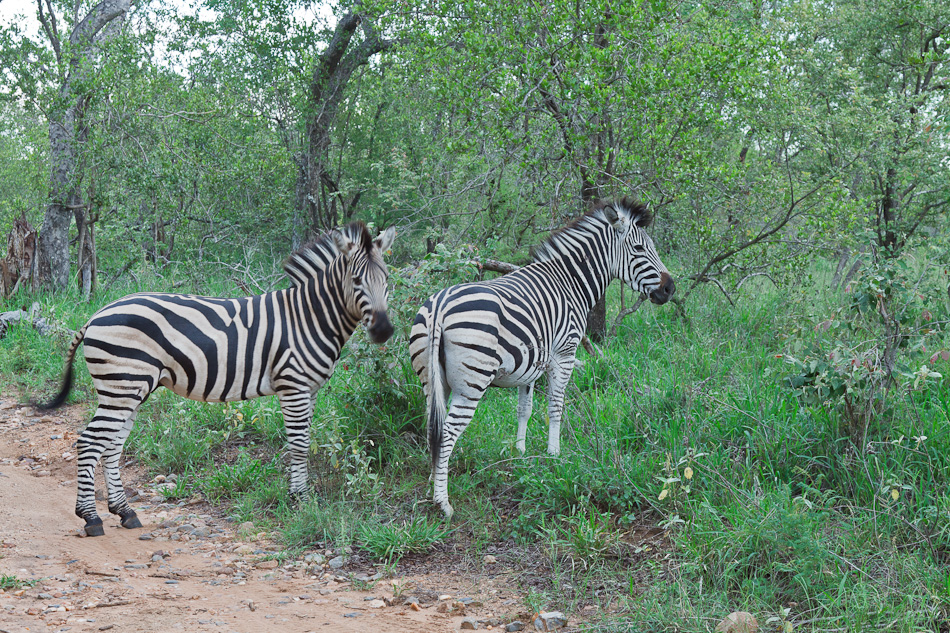 Zebra |Edeni Private Game Resort