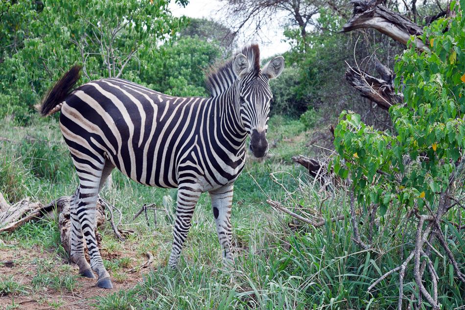 Zebra | Krugerpark, S52, Shingwedzi