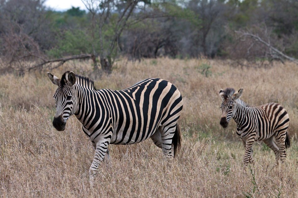 Zebra | Balule, Krugerpark
