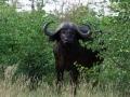 Buffel | Krugerpark, S52, Shingwedzi