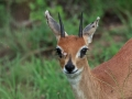 Antilope |Krugerpark, Tamboti, 2012